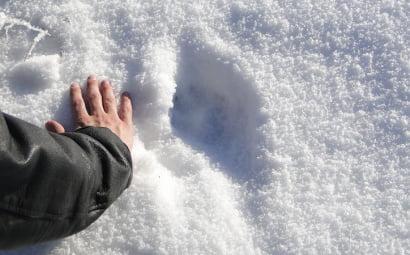 wilcza łapa na śniegu