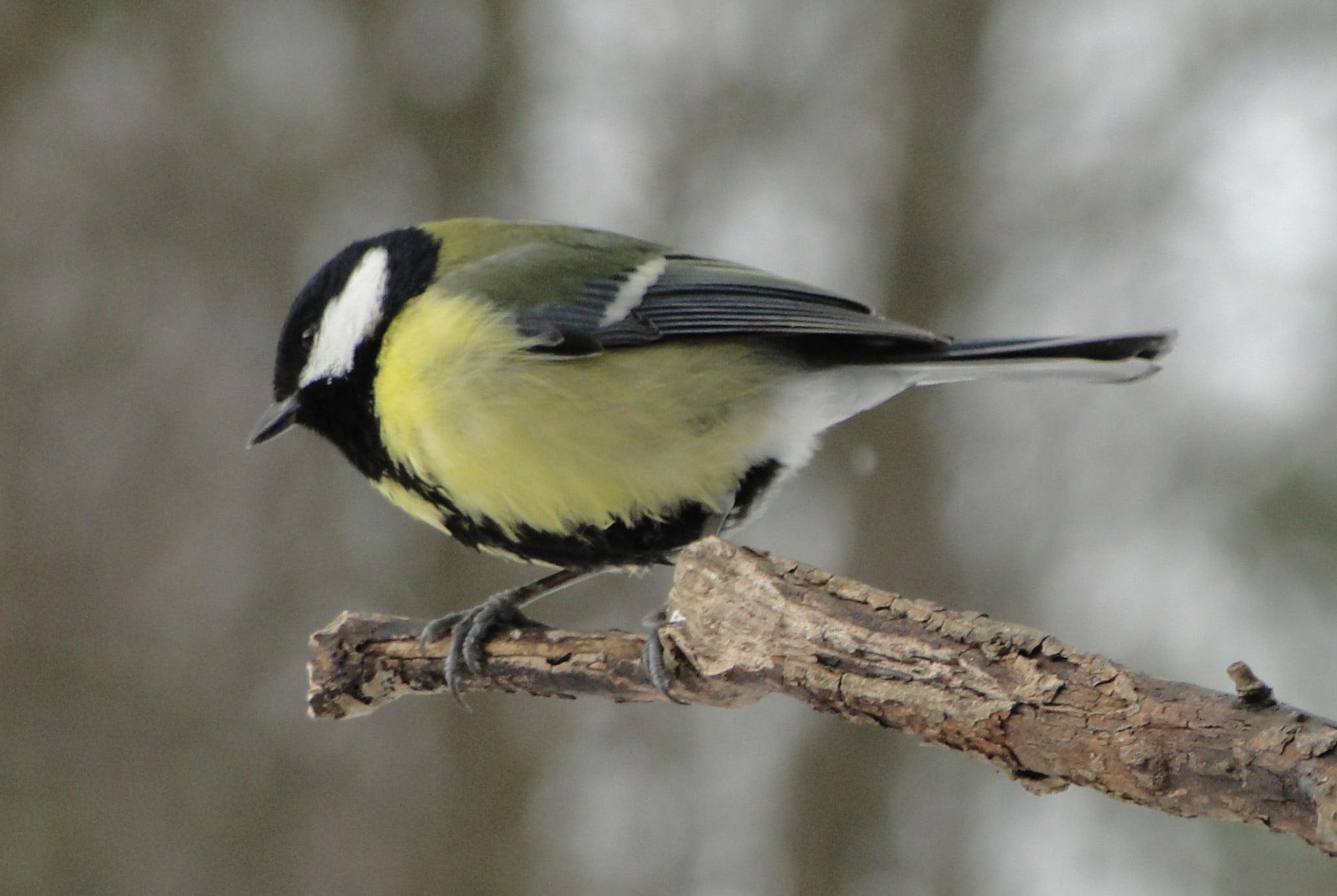 Nasi zimowi ptasi przyjaciele 3