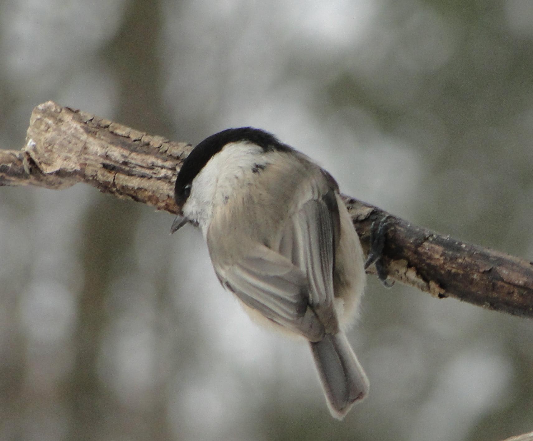 Nasi zimowi ptasi przyjaciele 1