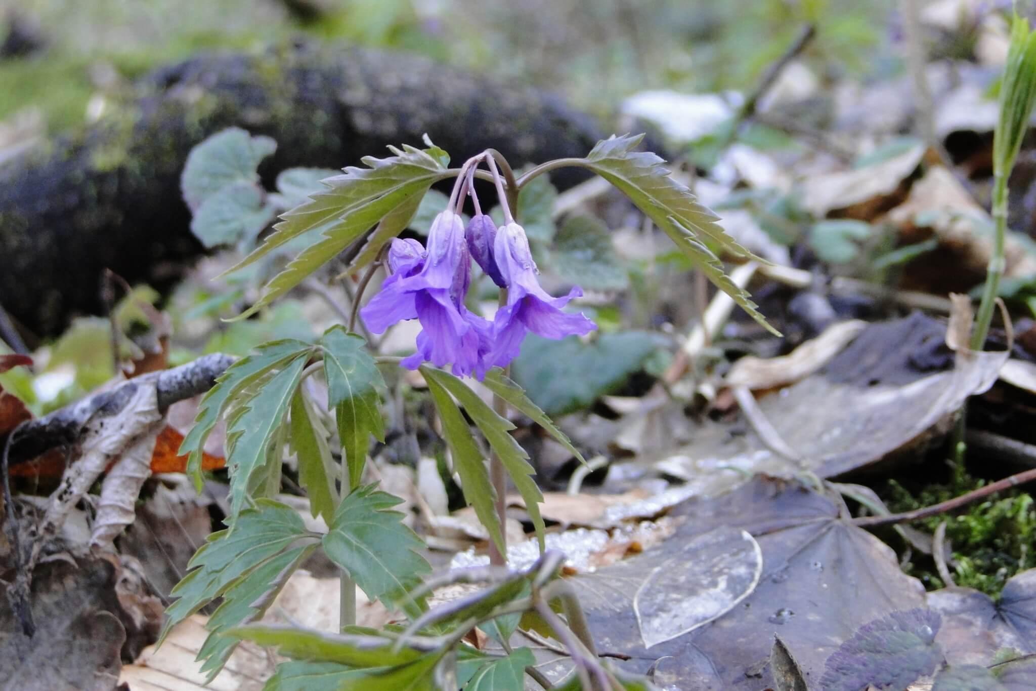 Przełom Jasiołki - wposzukiwaniu wiosny 10