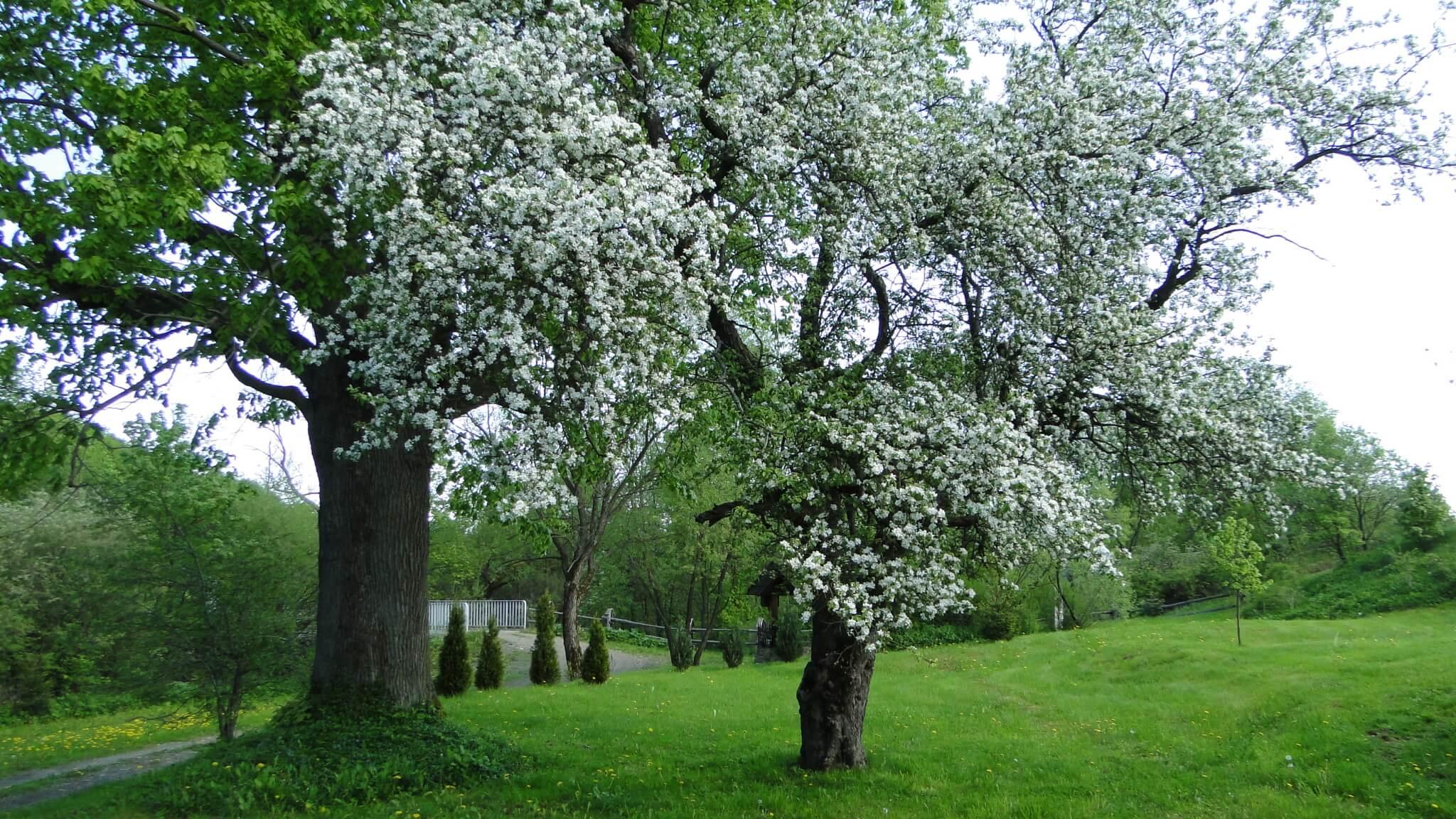 Stara łemkowska jabłoń kwitnie