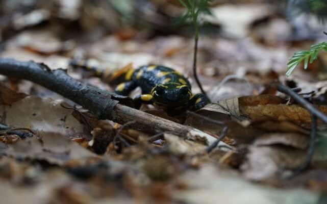 Portret miesiąca - salamandra