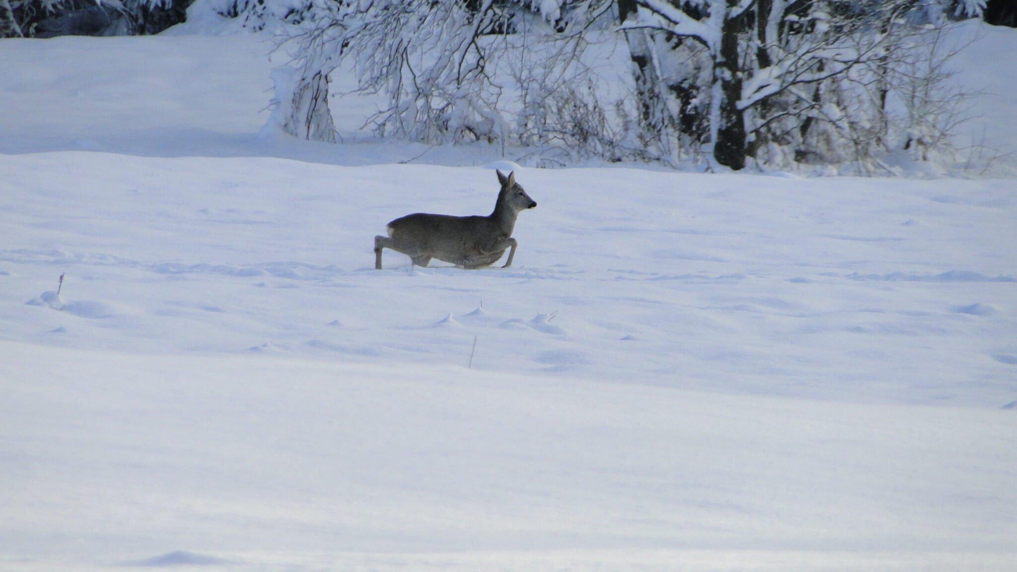 Zimowe tropienie zwierząt