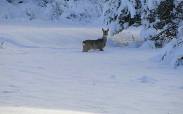 Zimowe tropienie zwierząt 1