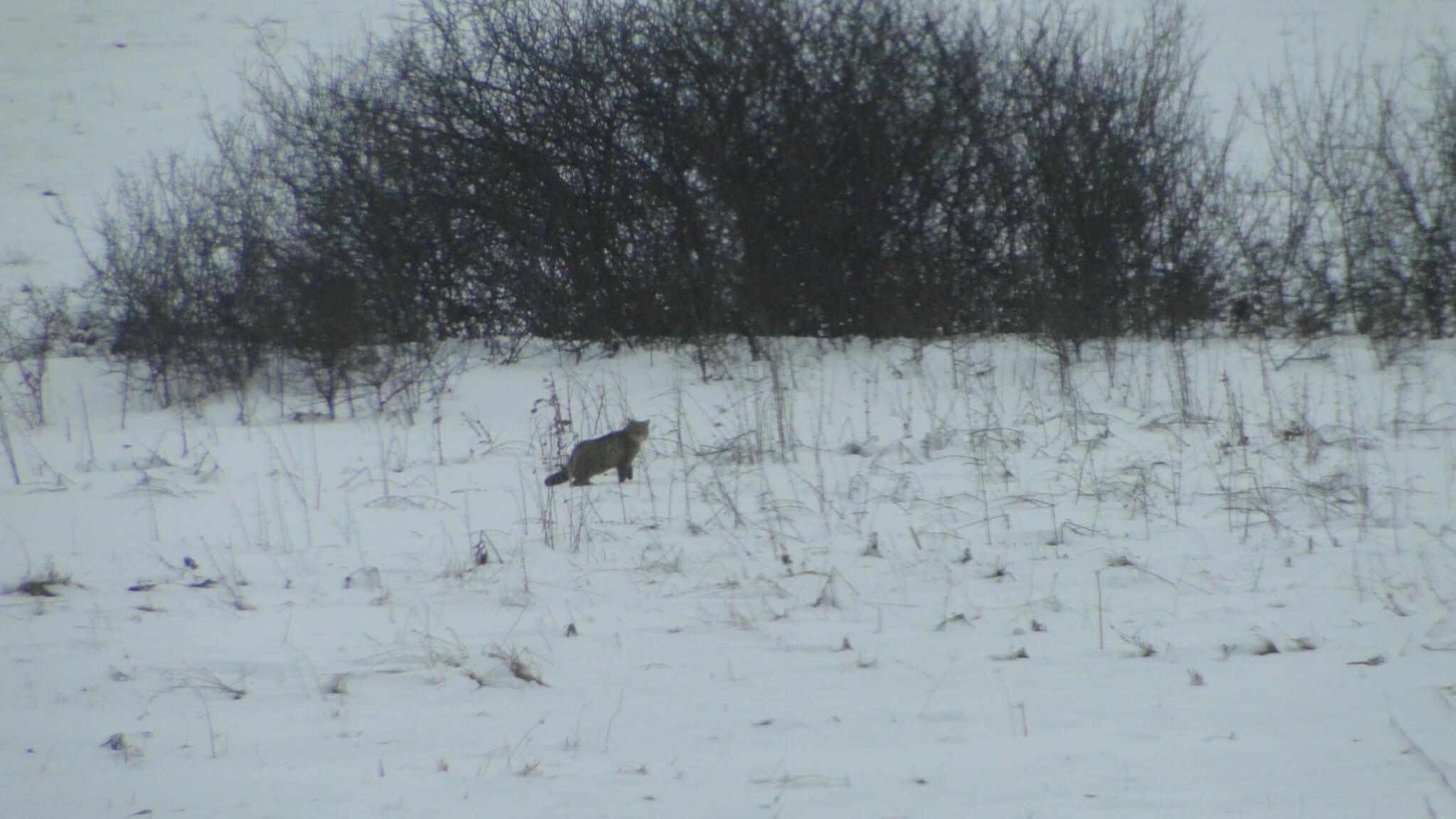 Zimowe tropienie zwierząt 2
