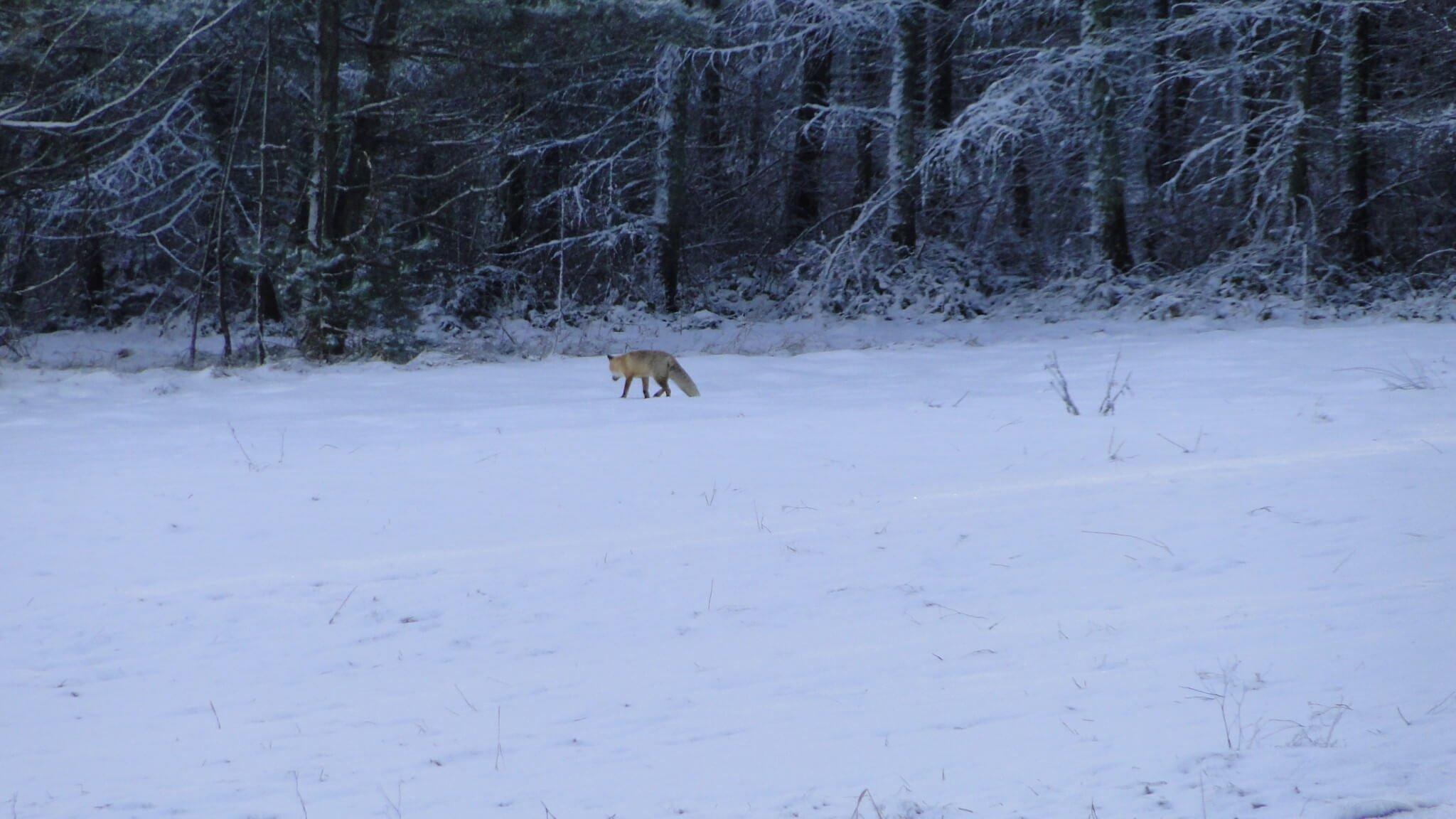 Zimowe tropienie zwierząt 6