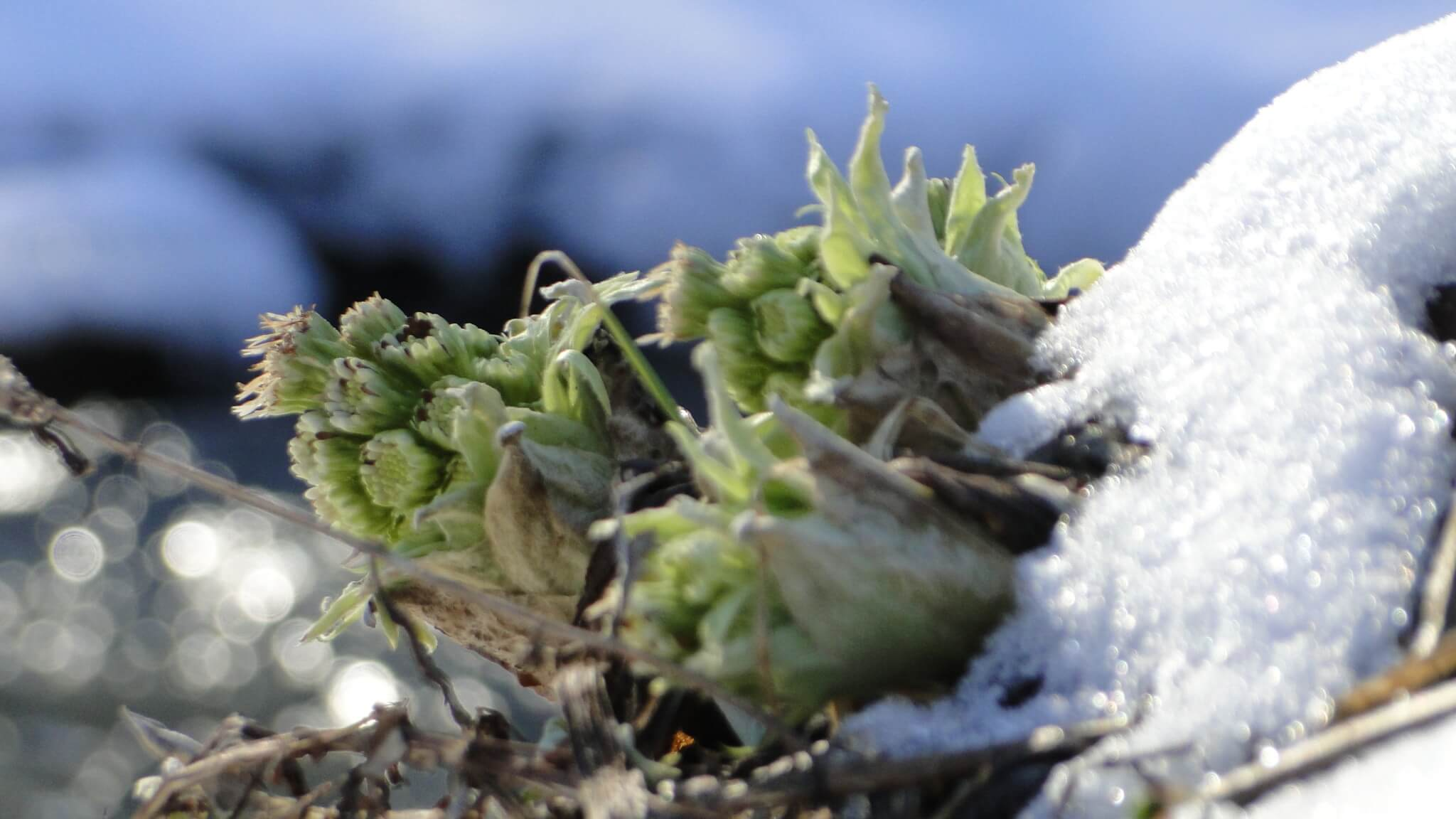 Lepiężniki białe przetrwały marcowe mrozy 1