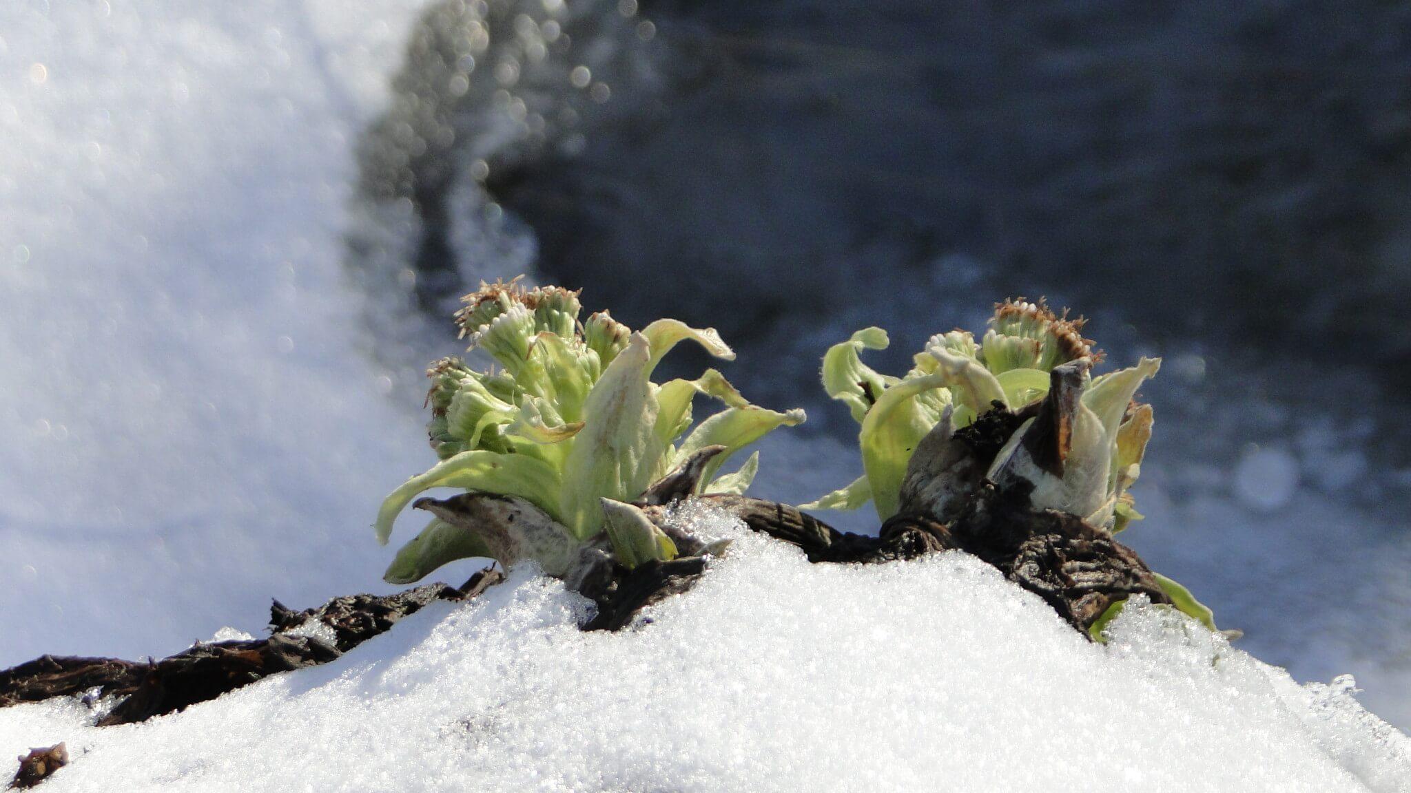 Lepiężniki białe przetrwały marcowe mrozy 2