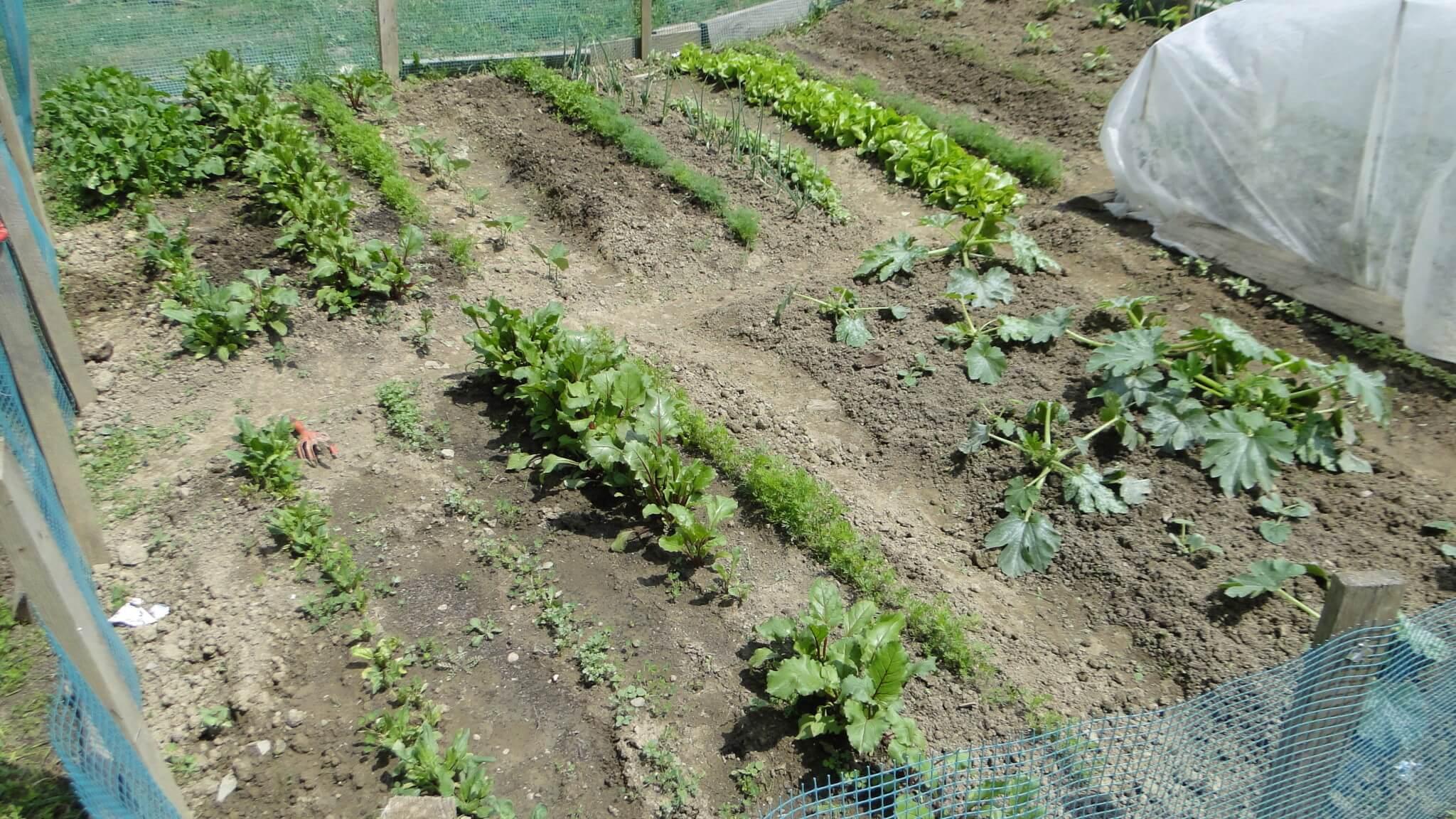 Warzywa z naszego ogródeczka 2