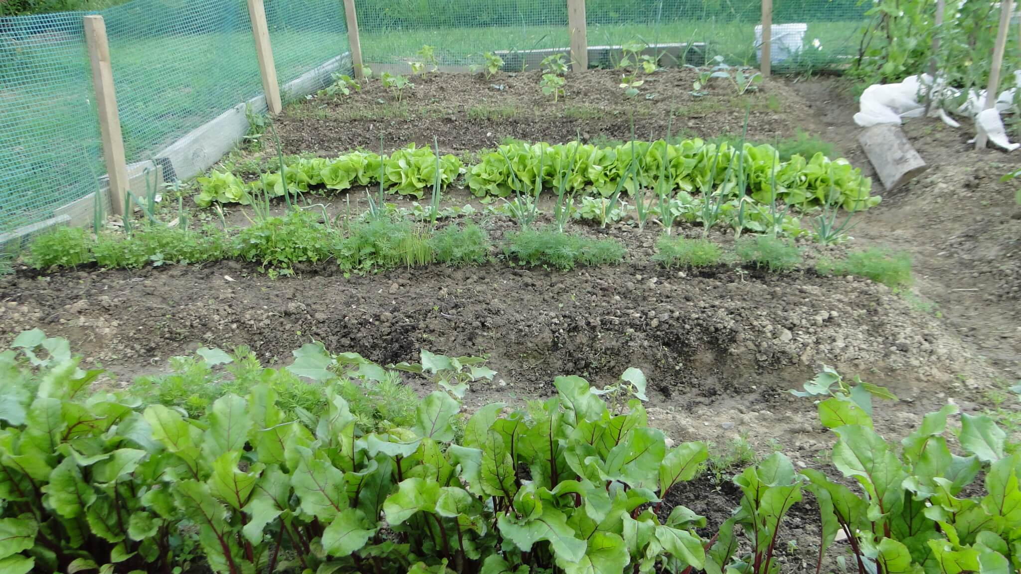 Warzywa znaszego ogródeczka 4