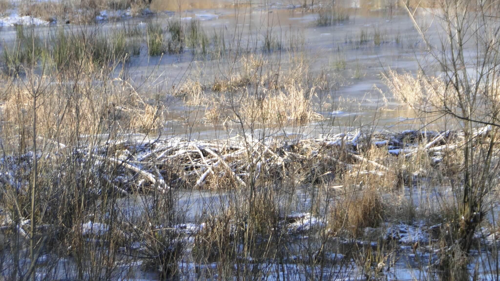Bobry gotowe na zimę