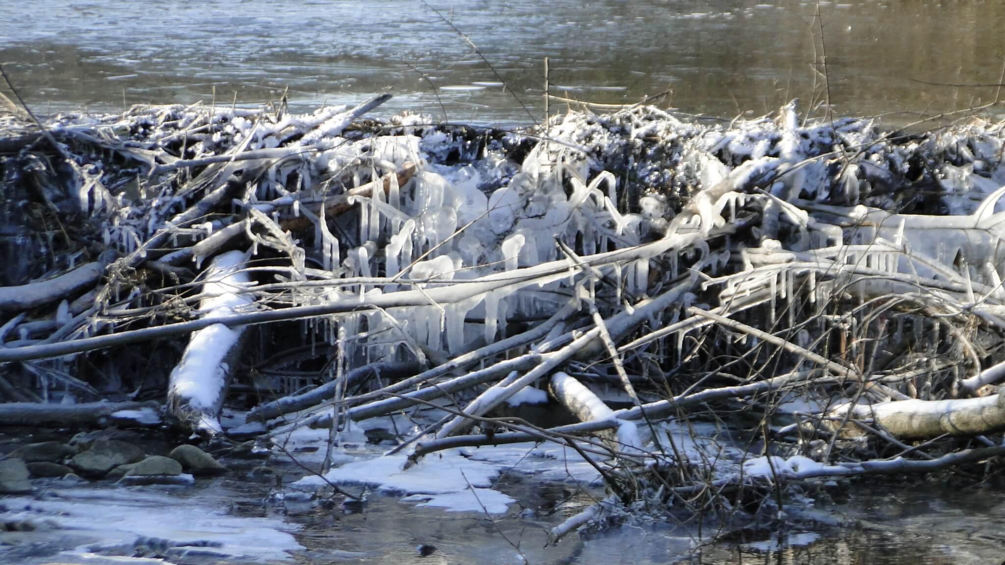 Bobry gotowe na zimę 3