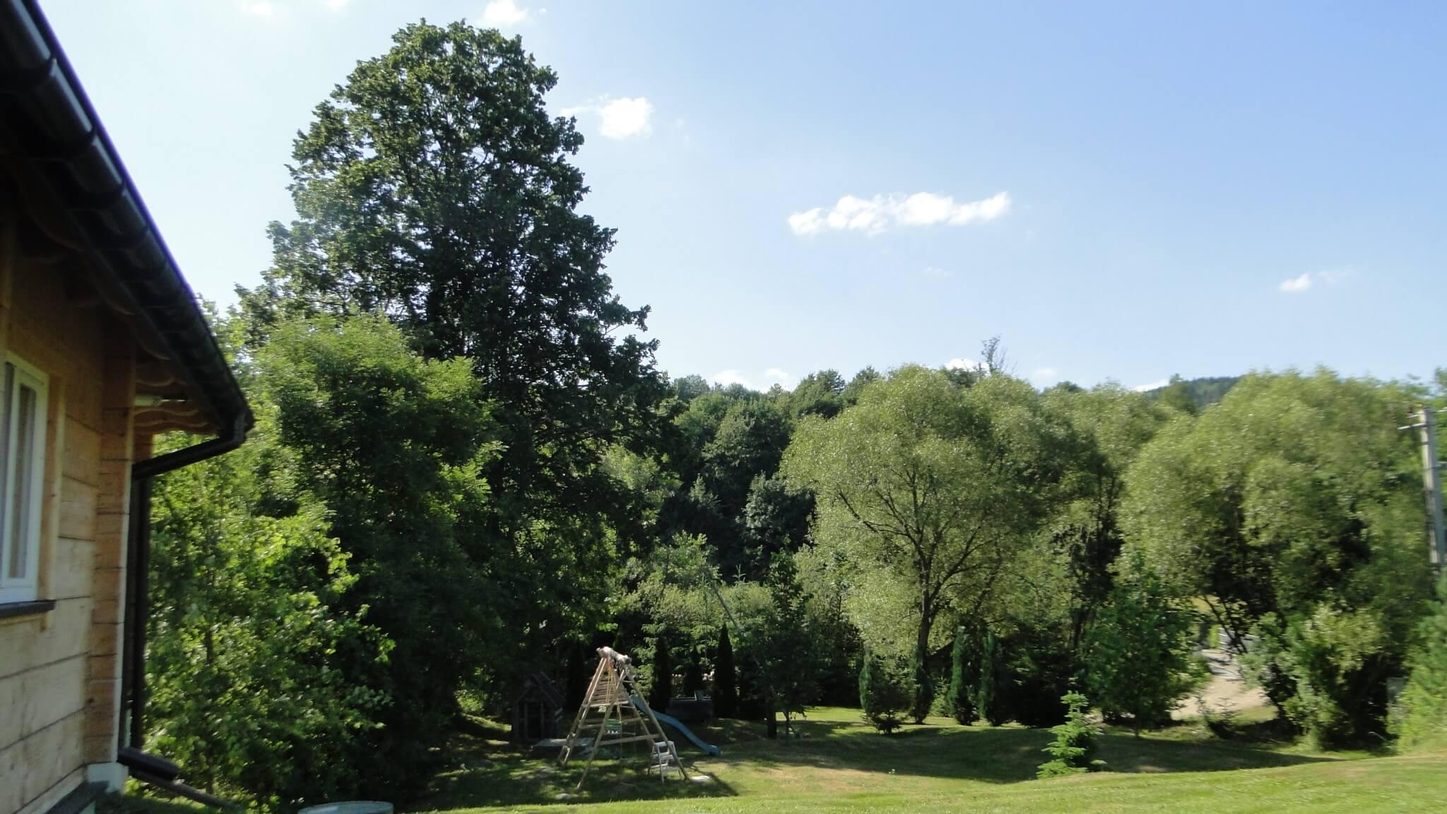 W lipcu - schronienie pod starą lipą w Lipowcu