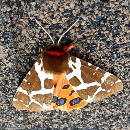 Beskidzkie motyle 1