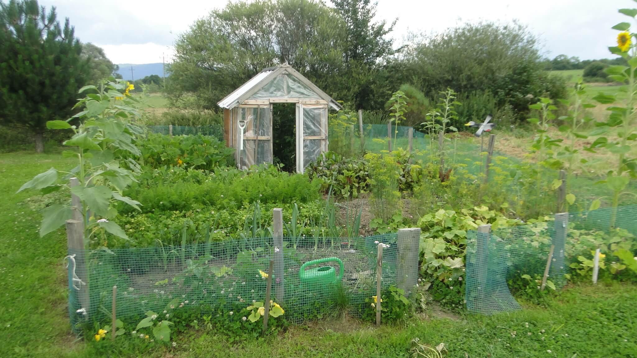 W ogródeczku pomidory! 2