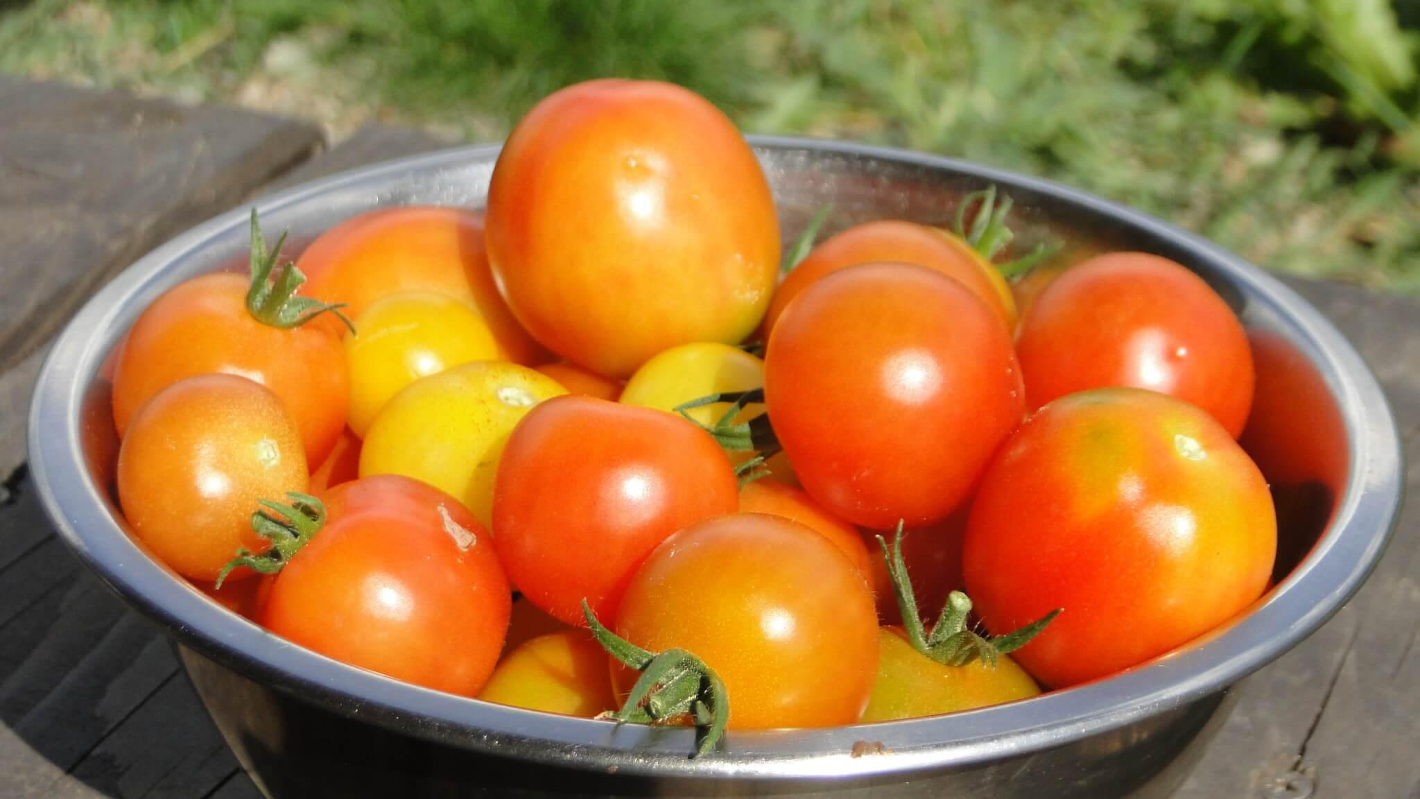 W ogródeczku pomidory! 5