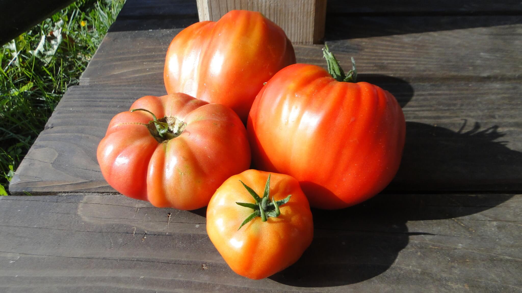 Zbiory pomidorów isłoneczników 4