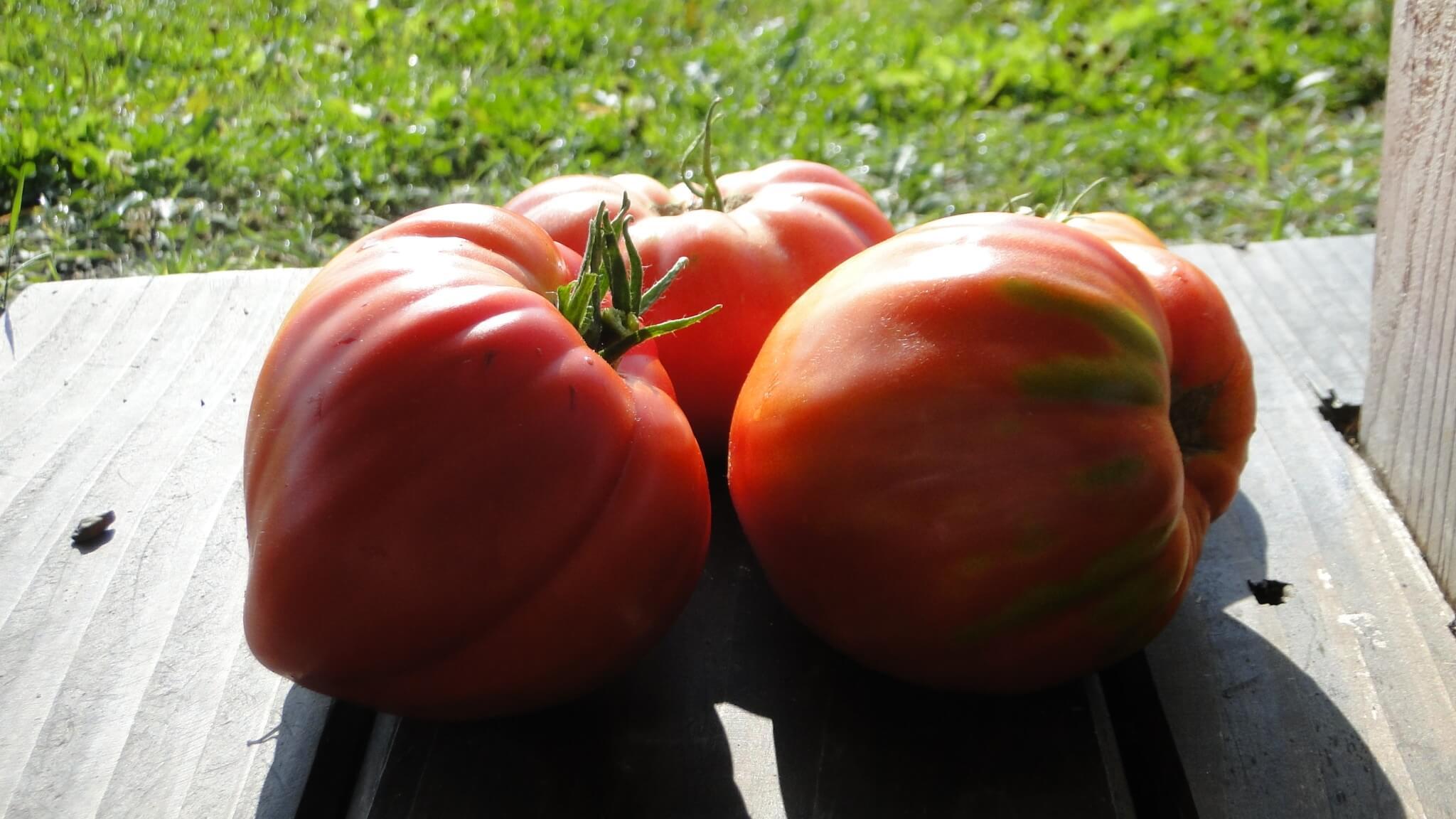 Zbiory pomidorów isłoneczników 5