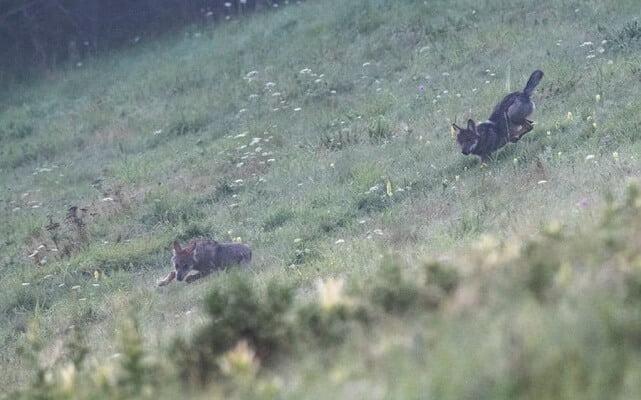Wilki w naszej okolicy