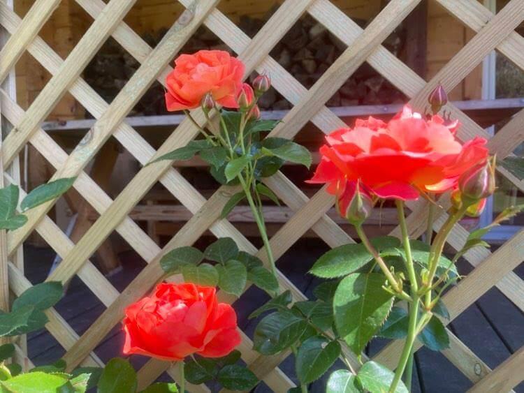 Róże ipiwonie 15