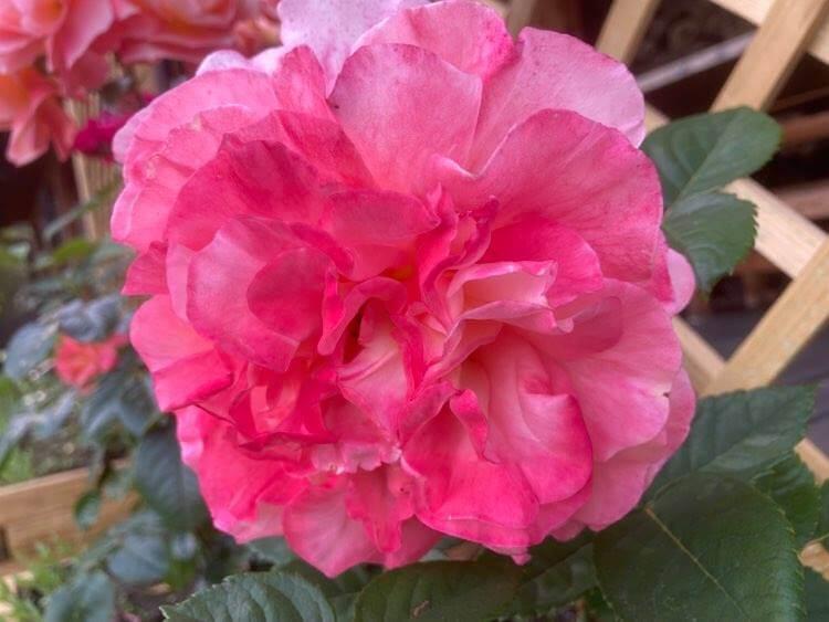 Róże ipiwonie 8