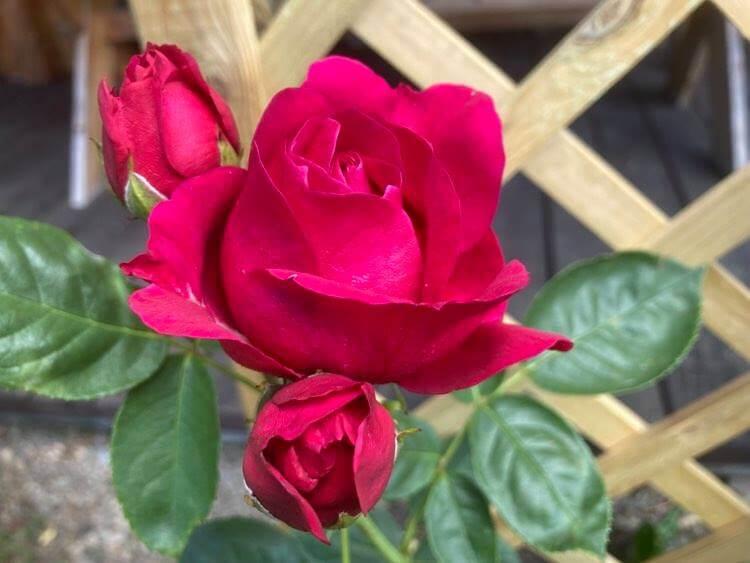 Róże ipiwonie 1