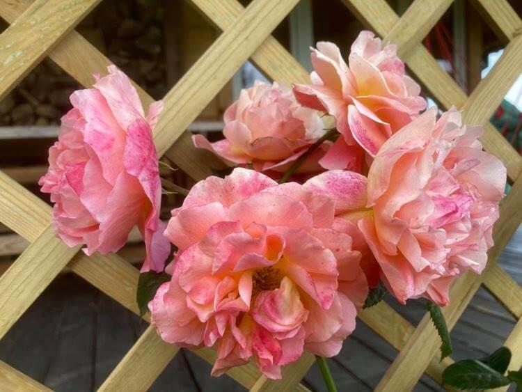 Róże ipiwonie 5