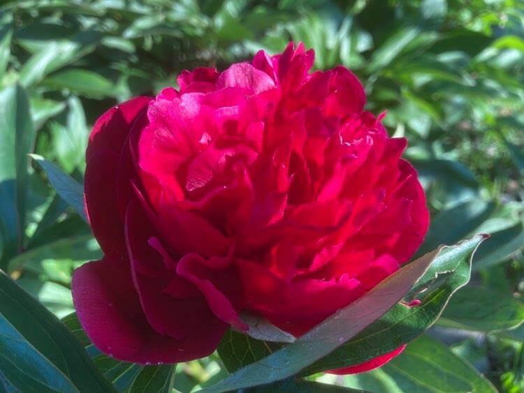 Róże ipiwonie 14