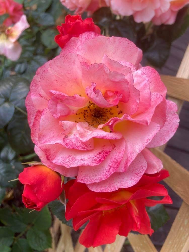 Róże ipiwonie 7