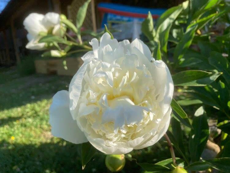 Róże ipiwonie 12