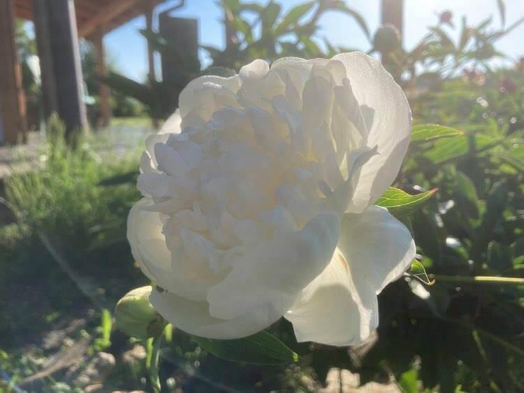 Róże ipiwonie 11