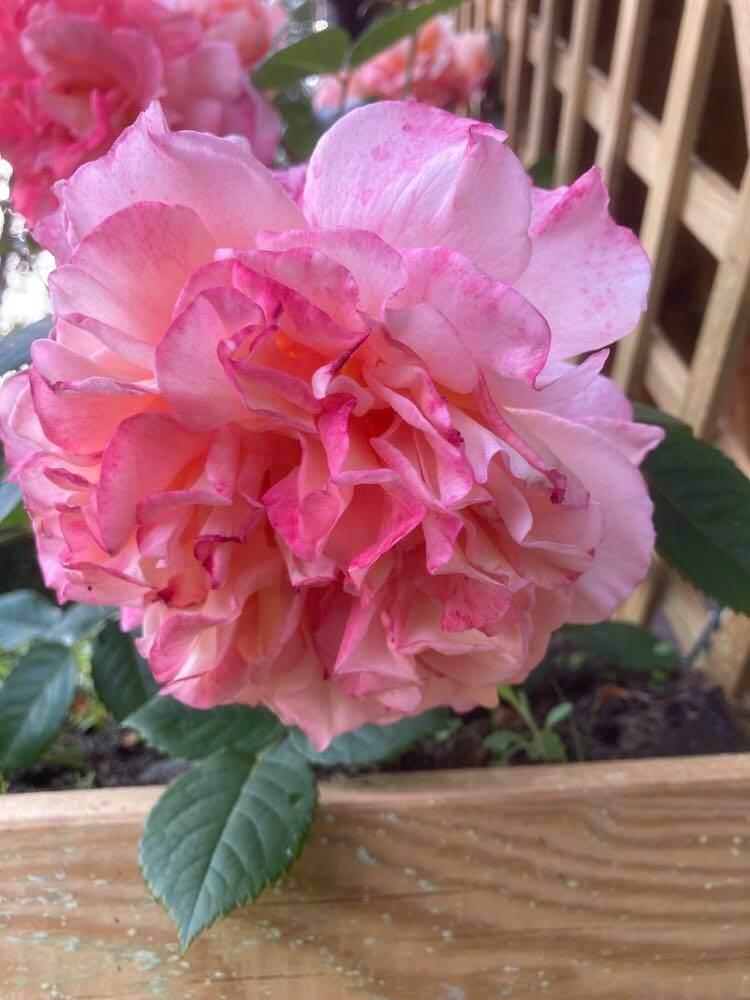 Róże ipiwonie 10