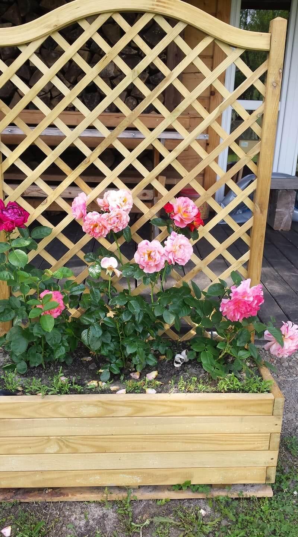 Róże ipiwonie 9