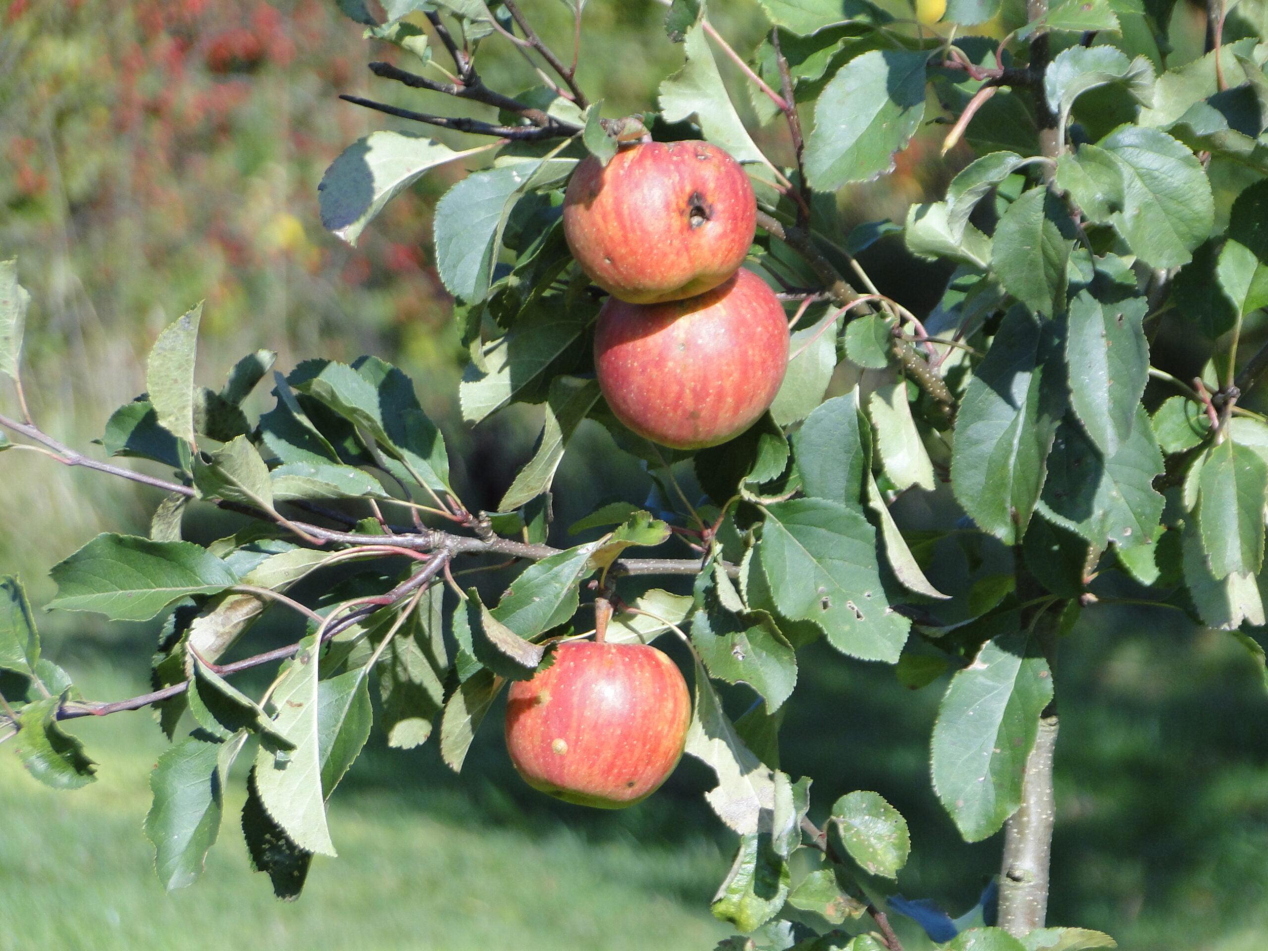 Jabłka ijesienne róże