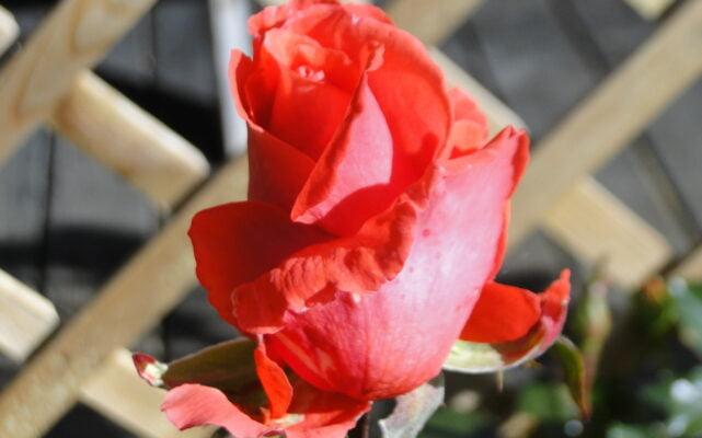 Jabłka i jesienne róże 1