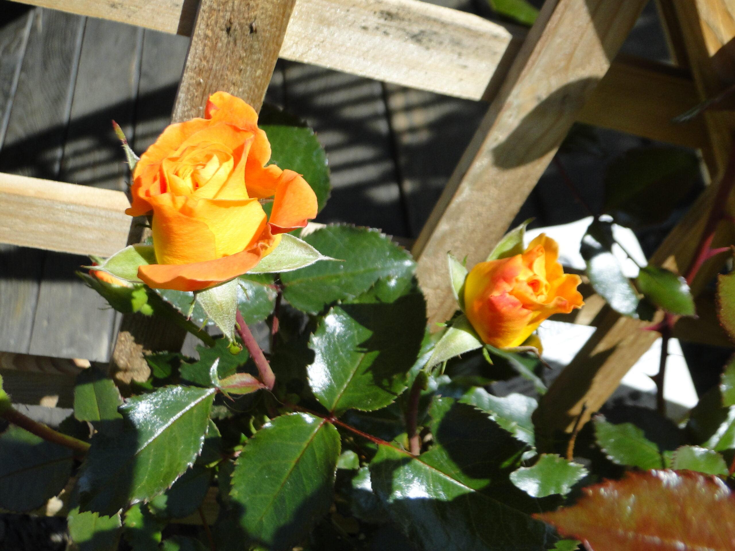 Jabłka ijesienne róże 2